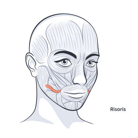 Risoris. Facial muscles of the female. Detailed bright anatomy isolated on a white background vector illustration
