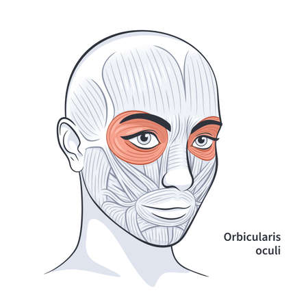 Orbicularis oculi. Facial muscles of the female. Detailed bright anatomy isolated on a white background vector illustration