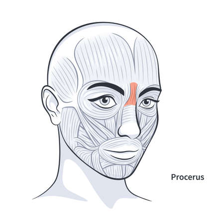 Procerus. Facial muscles of the female. Detailed bright anatomy isolated on a white background vector illustration