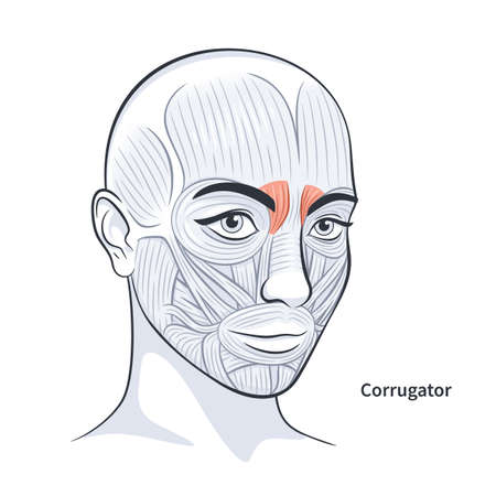Corrugator. Facial muscles of the female. Detailed bright anatomy isolated on a white background vector illustration