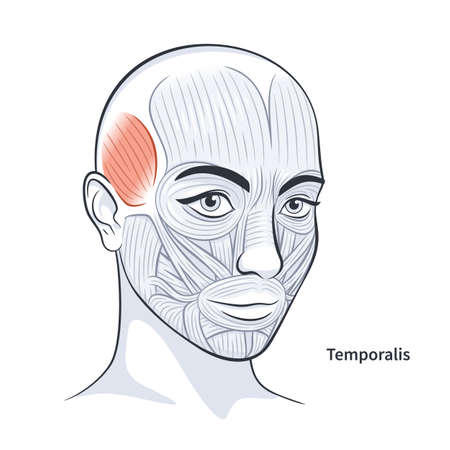 Temporalis. Facial muscles of the female. Detailed bright anatomy isolated on a white background vector illustration