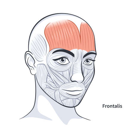 Frontalis. Facial muscles of the female. Detailed bright anatomy isolated on a white background vector illustration