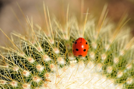 Ladybug on a catus plant photo