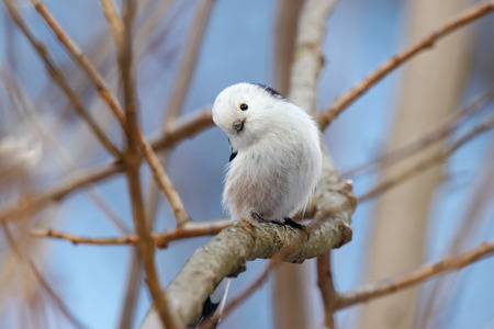 Long-tailed tit (aegithalos caudatus) sitting on branch of bush. Cute white funny songbird. Bird in wildlife.