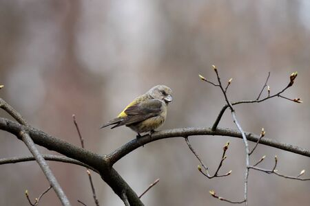 Red common crossbill loxia curvirostra female sitting on branch of bush in early spring. Cute little forest songbird in wildlife.