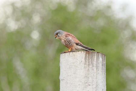 Common kestrel falco tinnunculus male sitting on concrete pillar looking for prey. Cute little bright falcon in wildlife