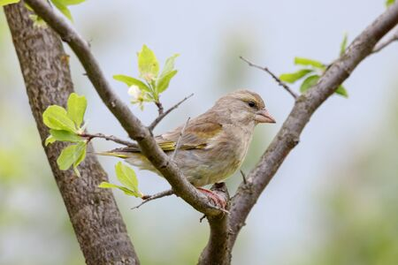 European greenfinch Chloris chloris feemale sitting on branch of garden tree. Cute brown green songbird in wildlife.