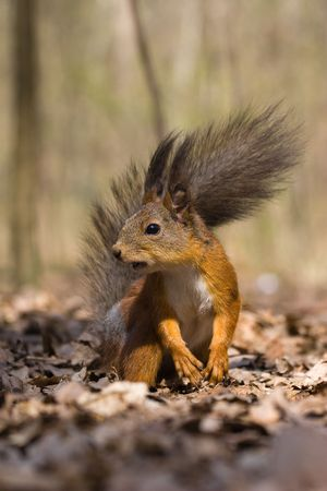 hinder: The squirrel has half-risen on hinder legs and looks in an objective