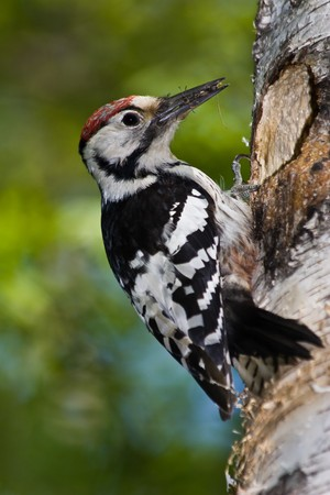 The woodpecker perched at a hollow. White-backed, male