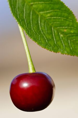 singly: Juicy berry of a cherry with a green leaf on the dim background