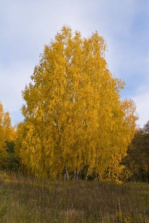 Yellow crone of birches. A vertical format of a shot photo