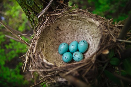 Six eggs in a nest of a song thrush. Colour of eggs as for Easter Stock Photo