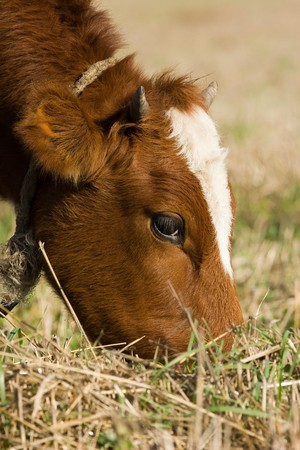 Cattle on a pasture photo