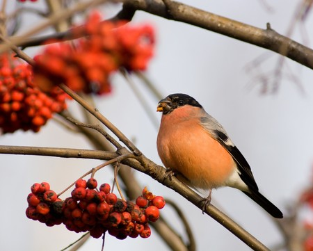 The Bullfinch (Pyrrhula pyrrhula Linnaeus, 1758) is mountain ash berries. The male sits on a branch