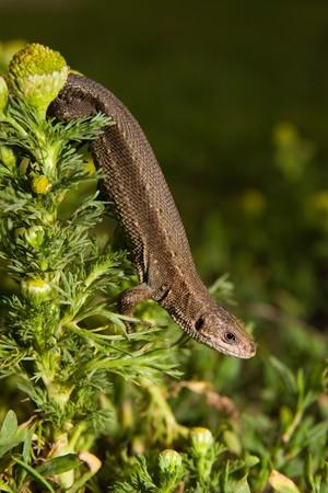 animal viviparous: Lizard in the wild nature. Russia, the Ryazan region, Pronsky area, village Denisovo.