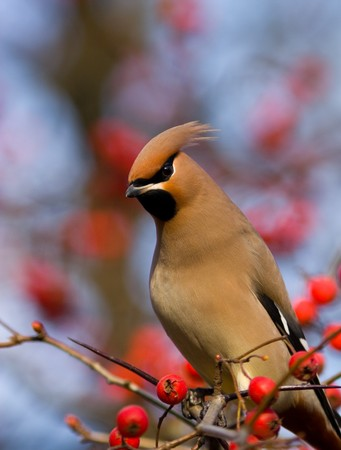 The bird is hawthorn berries. The beak is opened and it is visible tongue Stock Photo