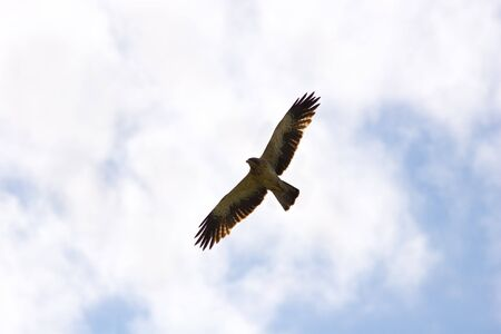 large bird: The bird soars in the sky. The Common Buzzard (Buteo buteo) is a medium to large bird of prey. Stock Photo