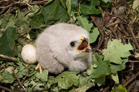 large bird: The baby bird nests. The Common Buzzard (Buteo buteo) is a medium to large bird of prey.