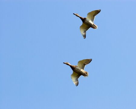 Two wild ducks fly in the sky.