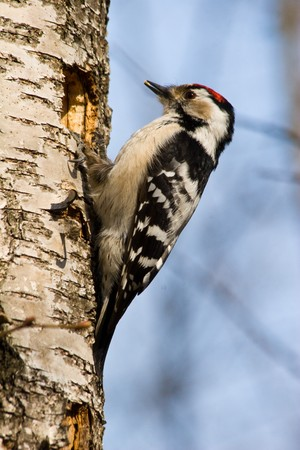 The woodpecker builds to itself a hollow.