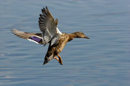 The female of a wild duck carries out landing. Stock Photo