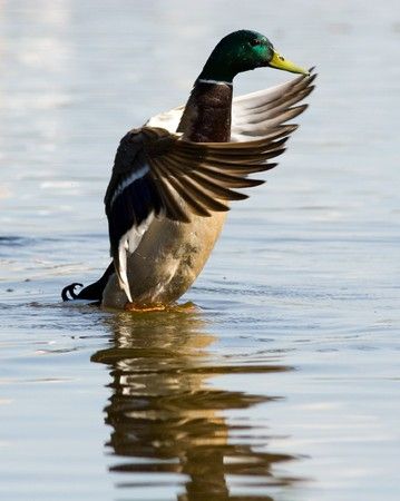 The wild duck bathes in water. A male.