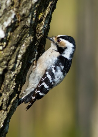 hollows: The female of a woodpecker hollows a tree.