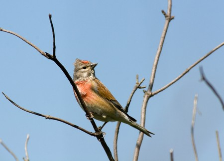 Male. The Linnet perching on a branch of the tree.The Linnet, Carduelis cannabina, is a small passerine bird in the finch family Fringillidae. photo