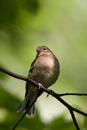 Chaffinch perching on a branch of the tree. photo