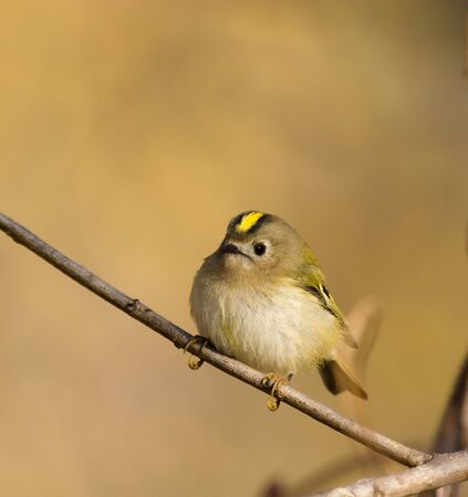 The Goldcrest, Regulus regulus, is a very small passerine bird in the kinglet family, resembling the Firecrest but with a plainer face.