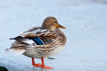 Partial albino of a duck. Female of a wild Mallard duck. Stock Photo - 4574151