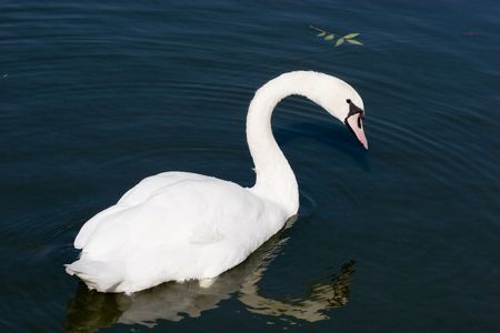 The Mute Swan (Cygnus olor) is a member of the duck, goose and swan family Anatidae. photo