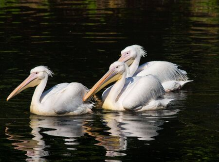 A pelican is a large water bird with a distinctive pouch under the beak, belonging to the bird family Pelecanidae. photo