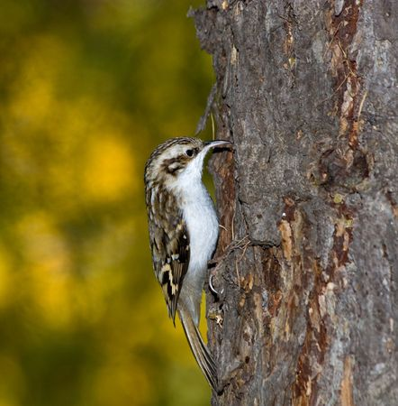 familiaris: Creeper perching on a branch of the tree.