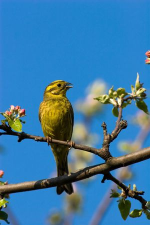 The Yellowhammer, Emberiza citrinella, is a passerine bird in the bunting family Emberizidae. Male Stock Photo - 4614969