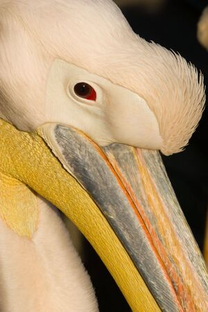 pelecanidae: A pelican is a large water bird with a distinctive pouch under the beak, belonging to the bird family Pelecanidae.
