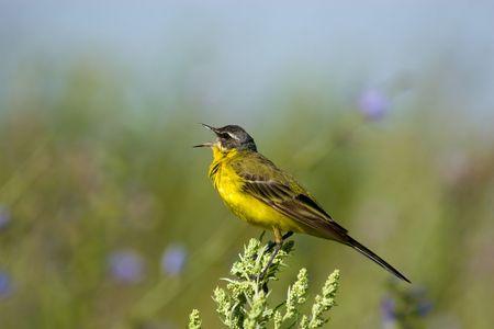 motacilla: La lavandera amarilla, Motacilla flava, es un ave peque�o de la familia de Motacilla Motacillidae  Foto de archivo