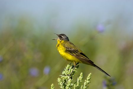 The Yellow Wagtail, Motacilla flava, is a small passerine in the wagtail family Motacillidae