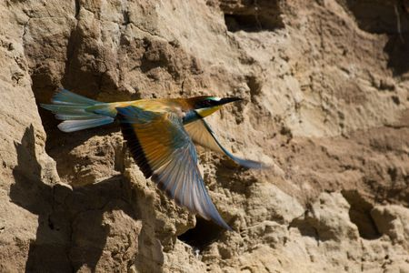 The European Bee-eater, Merops apiaster, is a near passerine bird in the bee-eater family Meropidae. Stock Photo - 4614992