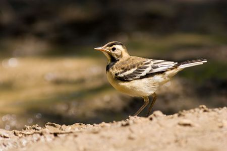motacillidae: The Yellow Wagtail, Motacilla flava, is a small passerine in the wagtail family Motacillidae