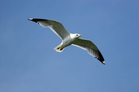 larus: The seagull flies against the blue sky. Stock Photo