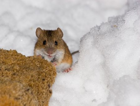 ludicrous: The wild field mouse in city park. Stock Photo