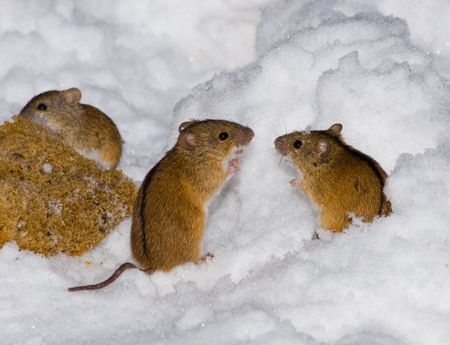 laughable: The wild field mouse in city park. Stock Photo