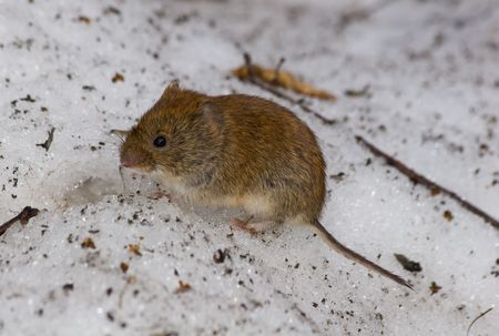 The wild field mouse in city park. Stock Photo