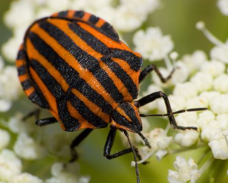 insecta: The beautiful striped bug sits on a plant. A close up.
