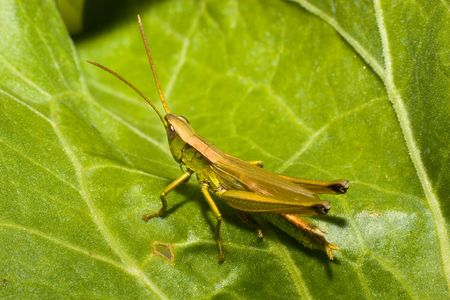 acrididae: The green grasshopper sits on cabbage sheet. A close up. Stock Photo