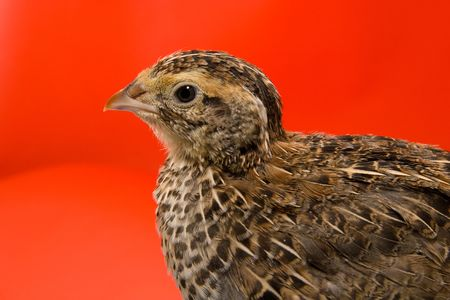 japanese quail: quail Japanese on a red background in studio