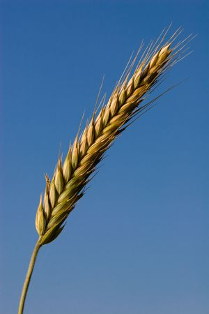 agronomical: Wheat ear in the field as an agriculture and crop embodiment.