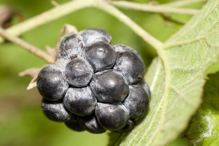 blackberry bush: The blackberry is an aggregate fruit from a bramble bush, genus Rubus in the rose family Rosaceae.