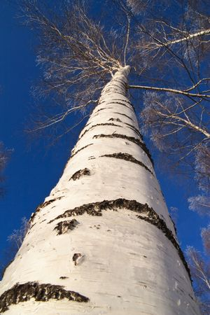 european white birch: Betula pendula, (Variously Silver Birch, European Weeping Birch, European White Birch, or Weeping Birch) is a widespread European birch, though in southern Europe it is only found at higher altitudes.